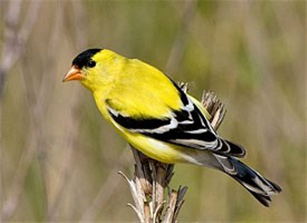 Yellow Finch Bird