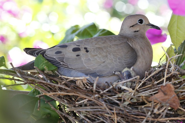 dove bird nest